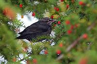 Amsel, Schwarzdrossel, Drossel, Männchen, frisst an reifen Eibenfrüchten, Früchten, Beeren, Turdus merula, Blackbird, male, Merle noir