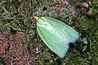 Grüner Eichenwickler, Eichen-Wickler, Tortrix viridana, pea-green oak curl, green oak tortrix, oak leafroller, green oak roller, oak tortrix, Wickler, Tortricidae, tortricids, leaf rollers, leaf tyers