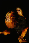 Golden-headed lion tamarin with infant, Brazil. (captive)