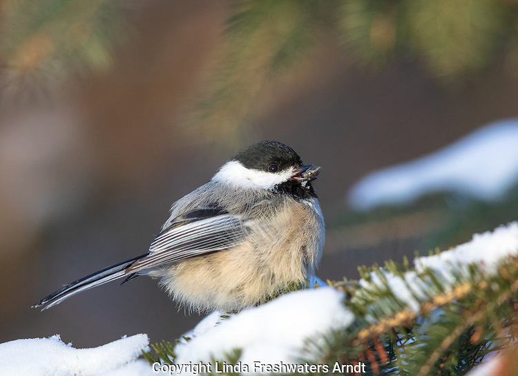 Black-capped chickadee holding a sunflower seed on a winter day in northern Wisconsin.