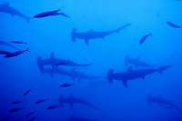 schooling scalloped hammerhead sharks, Sphyrna lewini, Sea of Cortez, Baja California, Mexico, East Pacific Ocean