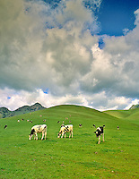 Holstein cows grazing. Sutter Butte, California