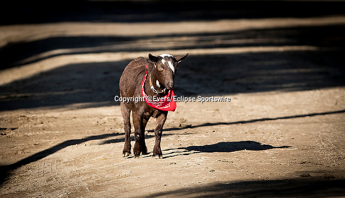 OCT 29: Num Numns the Goat at Santa Anita Park in Arcadia, California on Oct 29, 2019. Evers/Eclipse Sportswire/Breeders' Cup