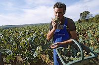 Europe/France/Pays de la Loire/44/Loire-Atlantique/AOC Muscadet/Saint-Fiacre-sur-Maine: Michel Gadais pendant les vendanges - Cépage melon