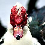 That Duck