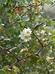 Desert Apricot, Prunus fremontii, flowering branch
