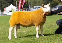 Kelso Ram Sale 2018<br /> Lot 2541  texel lamb 5000gns Allan Campbell, Strawfrank<br /> ©Tim Scrivener Photographer 07850 303986<br />      ....Covering Agriculture In The UK....