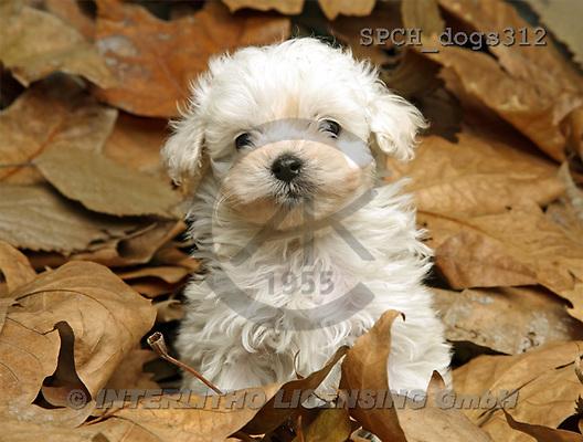 Xavier, ANIMALS, dogs, photos(SPCHdogs312,#A#) Hunde, perros