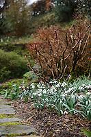 Galanthus Trumps