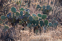 An Engelman's prickly pear cactus stands in the Cactus Forest area of Saguaro National Park (Rincon Mountain District) near Tucson, Arizona, USA.