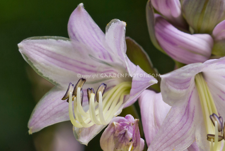Hosta flowers extreme closeup of anther stamens