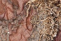 Weberknecht, Odiellus troguloides, harvestman, Weberknechte, daddy longleg, daddy-long-leg, Kanker, Opiliones, Phalangidae, harvestman, harvestmen, daddy longlegs