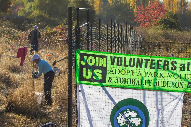 Port Townsend, Kai Tai Lagoon, Adopt a Park volunteers from Admiralty Audubom, planting Garry Oaks, Jefferson County, Olympic Peninsula, Washington State,