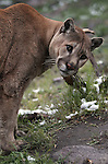 Tonka, a male mountain lion, scratches against a bush in his enclosure at the Animal Ark in north Reno, Nev, on Tuesday, May 17, 2011. .Photo by Cathleen Allison