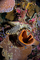 Hawksbill Turtle, Eretmochelys imbricata resting on house reef, Wakatobi, South Sulawesi, Banda Sea,Indonesia