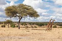 Tanzania. Tarangire National Park.  Scenic View, Acacia and Giraffes.