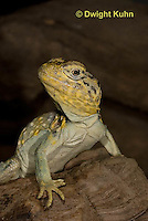 1R17-536z  Collared Lizard close-up of face, Male, Crotaphytus collaris