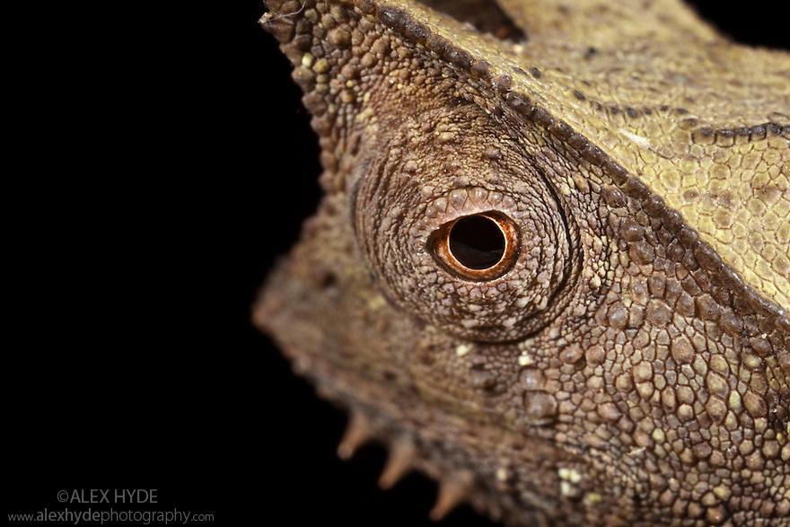 Stump-tailed chameleon (Brookesia superciliaris) found on rainforest floor amongst leaf litter. Masoala Peninsula National Park, north east Madagascar.