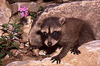 Baby raccooon in rocks, Missouri