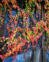Ivy on old door