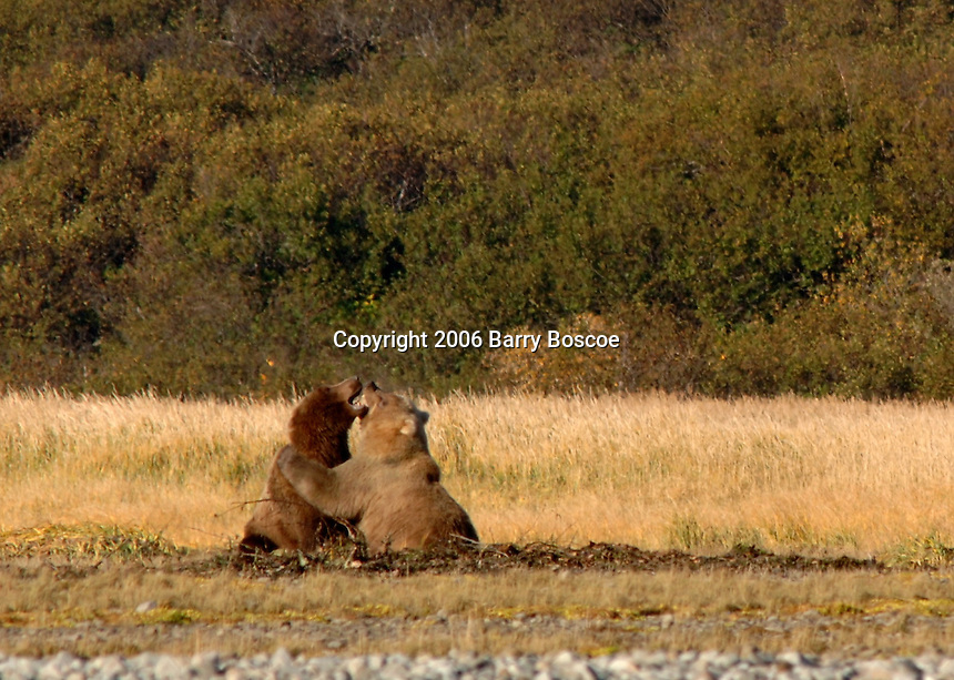 Grizzly Bears play fighting in Katmai, Alaska.