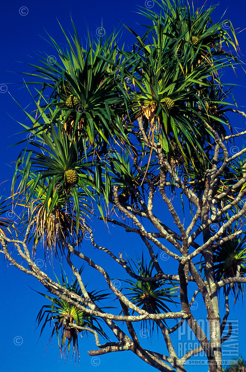 Hala tree (Pandanus tectorius), female tree with compound fruit that resembles a pineapple. Leaves used for weaving mats, hats, (sails etc. in ancient times).