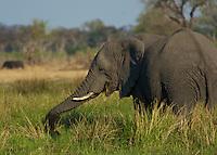 African Bull Elephant grazing  in the Okavango Delta, Botswana Africa