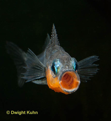 1S13-500z  Male Threespine Stickleback yawning behavior, Mating colors showing bright red belly and blue eyes,  Gasterosteus aculeatus,  Hotel Lake British Columbia
