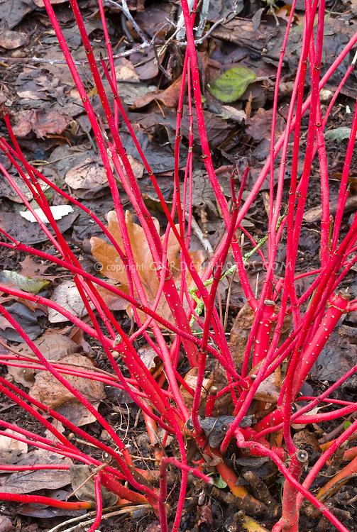 Cornus sericea Coral Red in red winter stems
