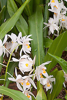 Coelogyne nitida var. limoniana orchid in bloom from Sikkim Himalayas