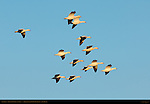 Snow Geese, Formation Flight at Sunrise, Bosque del Apache Wildlife Refuge, New Mexico