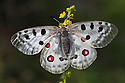 Apollo butterfly (Parnassius apollo) Nordtirol, Austrian Alps, Austria, July.