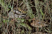 Wilde eend (Anas platyrhynchos) met pullen
