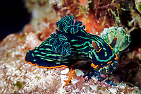 A nembrotha kubaryana nudibranch living on a wreck off of the Gili Islands, Indonesia, Indian Ocean