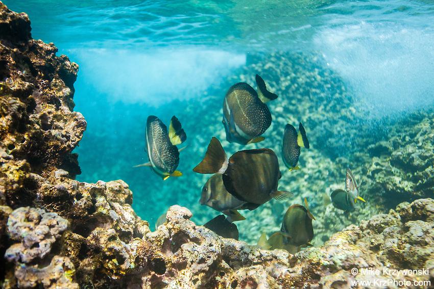Whitebar & Whitespotted Surgeonfish, Shark's Cove, Oahu