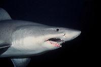 smalltooth sand tiger shark, Odontaspis ferox, Isla Malpelo, Columbia, Pacific Ocean