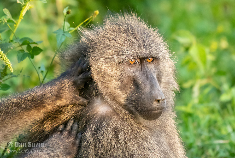 A male Olive Baboon, Papio anubis, is groomed by another individual in Lake Nakuru National Park, Kenya