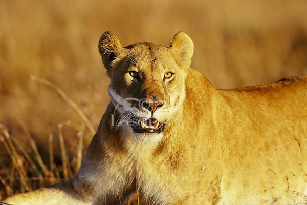 African lion (Panthera leo) lioness.