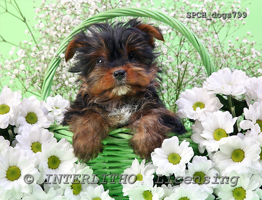 Xavier, ANIMALS, dogs, photos, SPCHdogs799,#A# Hunde, perros