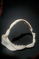 jaws & teeth of large Galapagos shark, Carcharhinus galapagensis,