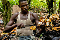 Cocoa farm labourers at Lucien Kro camp cut open the cocoa pods to extract the seeds.