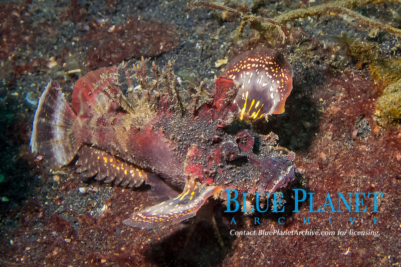 devil stinger, Inimicus didactylus, Lembeh Stait, Sulawesi, Indonesia, Indo-Pacific Ocean