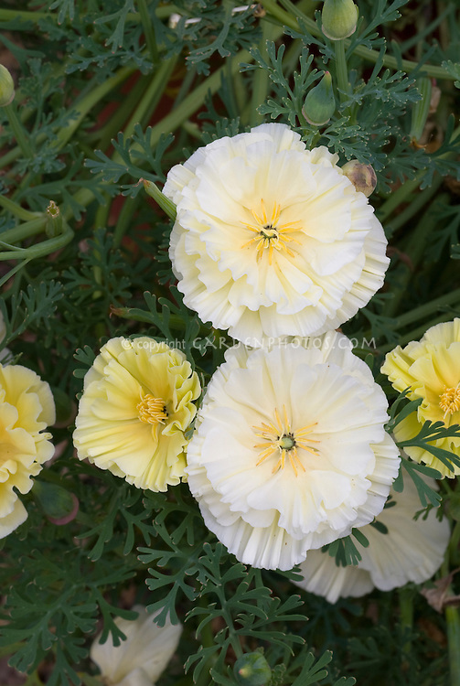 Eschscholzia Double Cream, double flowered California poppies, white and yellow, cool-season annual plant