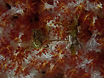 crabs on soft coral, Bali, Indonesia 2018