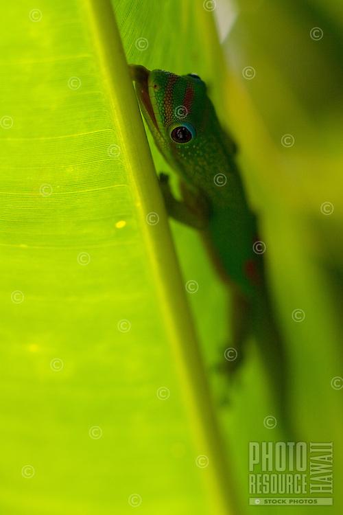 Chameleon on green plant leaf