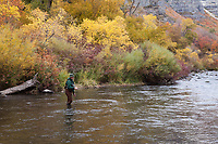 Fly Fisherman, Provo River Canyon in Autumn Fall Colors, Utah, USA.