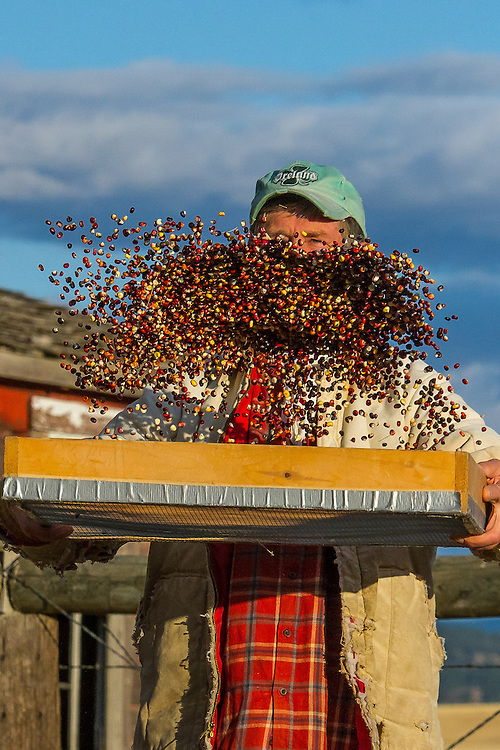 Dave Christensen grows multicolored heirloom corn on 11 different plots scattered across Montana. Mainly dried and ground the kernels are highly nutritious and chock-full of antioxidants.<br /> http://www.seedweneed.com/