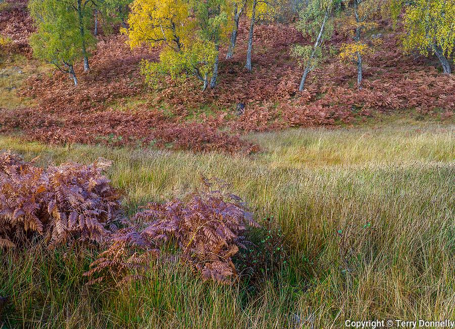 Western Highlands, Scotland: Fall colors in the open beech forests and bracken ferns of Glen Strathfarrar