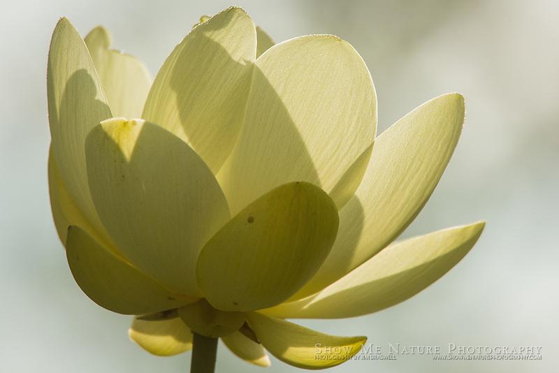 American Lotus in bloom, backlit