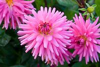 Cactus Dahlia Piper's Pink